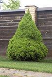 Kerstboom Picea glauca Conica - 3 ltr pot - 60-80 cm_