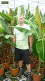 Musa sikkimensis 'Red Tiger' - total height 40+ cm - pot 2 Ltr_