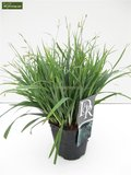 Carex laxiculmis Bunny Blue 2 ltr_