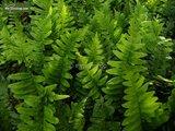 Polypodium vulgare 2 Ltr pot_