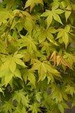 Acer Palmatum 'Summer Gold' - pot 3 Ltr - total height 60-80 cm_