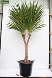 Cordyline australis total height 110-130 cm_