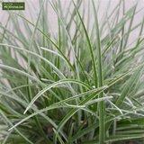 Fascicularia Bicolor 1,5 ltr_