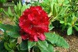 Rhododendron Nova Zembla 5 Ltr_