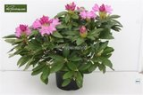 Rhododendron Roseum Elegans 5 ltr_