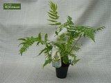 Dryopteris lepidopoda 0.7 ltr_