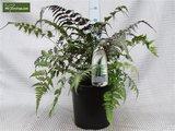 Athyrium niponicum Metallicum 5 ltr_
