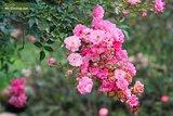 Rosa The Fairy 1 ltr_