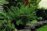 Dryopteris filix-mas Linearis Polydactyla 1.7 ltr_