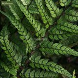 Polystichum tsus-simense 2 ltr_