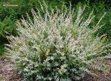 Salix Hakuro Nishiki 5 ltr_