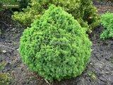 Picea glauca Alberta Globe 3 ltr_