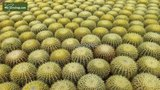 Echinocactus grusonii multihead  pot Ø 28 cm_