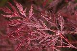 Acer palmatum Dissectum - pot Ø 19cm - 3 Ltr_