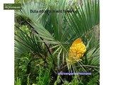 Butia capitata var. odorata trunk 50-70 cm_