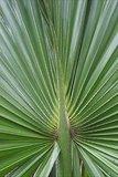 Sabal palmetto pot Ø 13 cm_