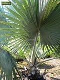 Bismarckia nobilis P14_