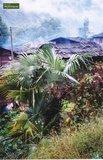 Trachycarpus sp. Nova pot: 0.7ltr. _
