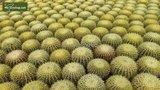 Echinocactus grusonii pot Ø 32 cm_