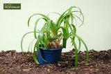 Agapanthus africanus White pot Ø 28 cm_