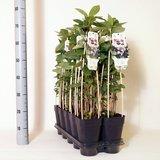 Aronia prunifolia 'Viking' 2 ltr_