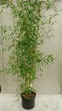 Phyllostachys aureosulcata 'Aureocaulis' - 15 Ltr pot_