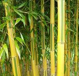 Phyllostachys aureosulcata 'Spectablis' 5 Ltr pot_