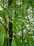 Phyllostachys nigra 10ltr._