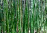 Semiarundinaria fastuosa 'Viridis' - pot 2 ltr - total height 70+ cm_