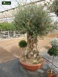 Olea europaea Bonsai 250 ltr_