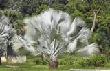 Bismarckia nobilis total height 100-120 cm_