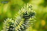 Araucaria araucana pot 3 ltr_