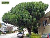 Pinus pinea pot Ø 17 cm_