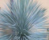 Yucca rostrata Sapphire Skies P11_