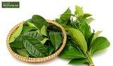 Camellia chinensis P14_