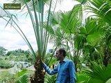 Livistona chinensis - total height 40-50 cm - pot Ø 13 cm_