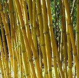 Phyllostachys aureosulcata Aureocaulis - total height 100-140 cm - 2 ltr pot_
