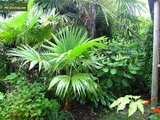 Trachycarpus latisectus - trunk 5-15 cm - total height 60-80 cm - pot Ø 17 cm_