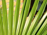 Trachycarpus latisectus - trunk 5-15 cm - total height 80-100 cm - Ø 26 cm pot_