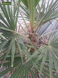 Trachycarpus sp. Kumaon trunk 10-20 cm - total height 130-150 cm - pot Ø 30 cm_