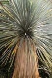 Yucca rostrata trunk 100-120 cm_