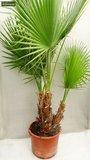 Washingtonia robusta Multitrunk pot Ø 35cm - total height 140+ cm_