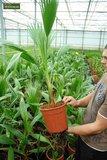 Washingtonia robusta pot Ø 26 cm - total height 100-130 cm _