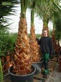 Washingtonia robusta trunk 30+ cm - pot Ø 45 cm - total heigth 160+ cm_