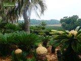Cycas revoluta trunk 20 cm -  - pot Ø 35cm - total heigth 55-65 cm_