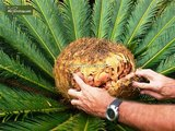 Cycas revoluta trunk 8+ cm - pot Ø 20 cm - total height 50-70 cm_