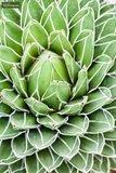 Agave victoria reginae 14x14 cm pot_