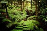 Dicksonia antarctica - trunk 15-20 cm - total height 80-100 cm - pot Ø 26 cm_