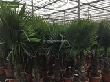 Trachycarpus fortunei trunk 120-140 cm [pallet]_