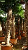 Trachycarpus fortunei stam